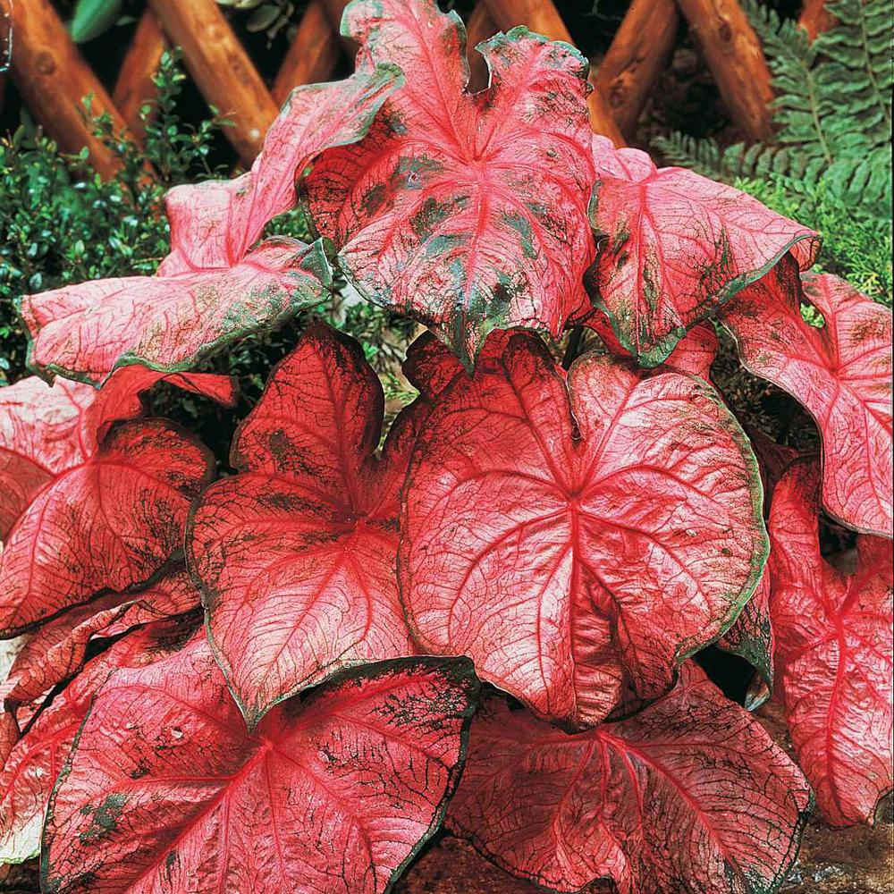 Breck's Rosy Leaf Caladium Live Bareroot Plants Pink Colored Foliage  (3-Pack)