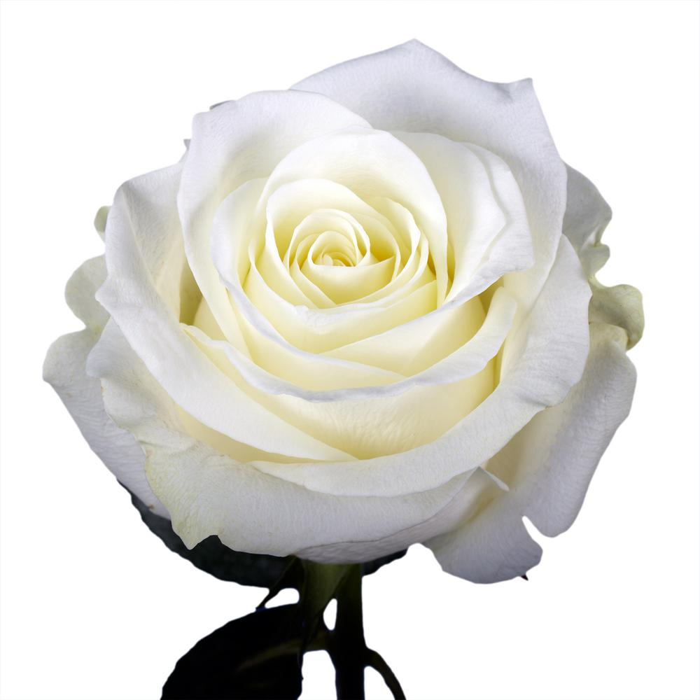 Globalrose 50 White Roses Fresh Flower Delivery 50 Birthday White
