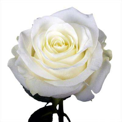 50 White Roses- Fresh Flower Delivery
