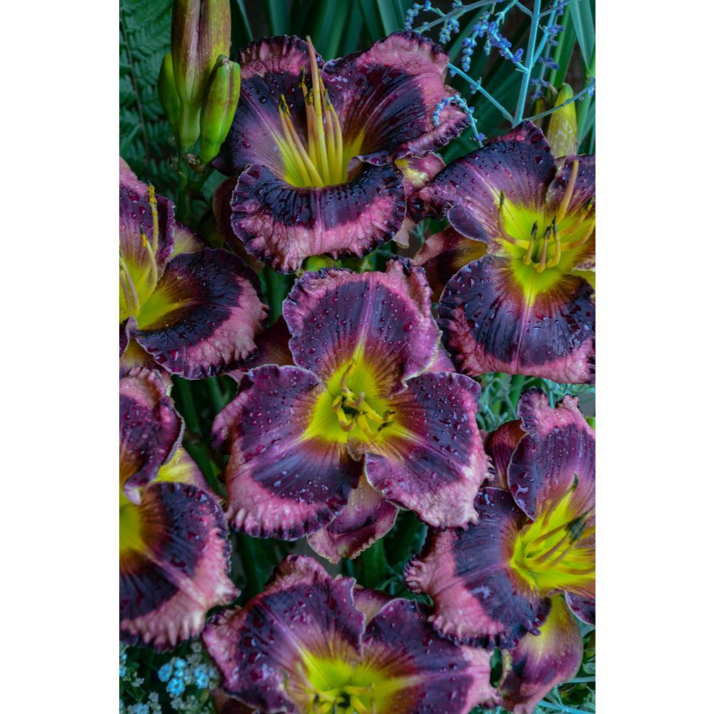 Rainbow Rhythm Storm Shelter Daylily (Hemerocallis) Live Plant Purple Flowers with Green Eye 3 Gal.