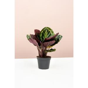Calathea Roseopicta Medallion - Peacock Plant in 6 in. Grower Pot