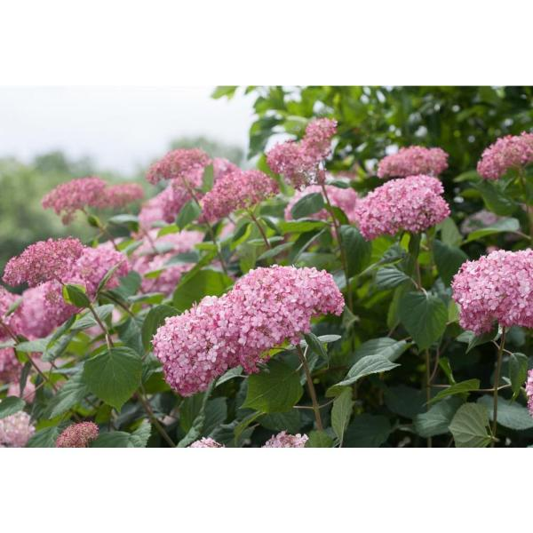 1 Gal. Invincibelle Spirit II Smooth Hydrangea, Live Shrub, Pink Flowers