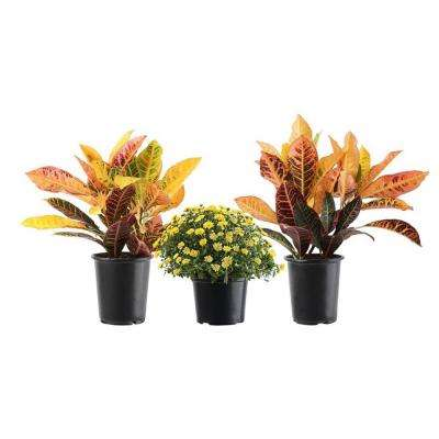 3 Qt. Growers Choice Chrysanthemum Mums in Grower's Pot and Two 6 in. Croton Petra in Growers Pot Autumn Combo (3-Pack)