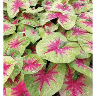4.5 in. Quart Heart to Heart Lemon Blush (Caladium) Live Plant in Green and Pink Foliage