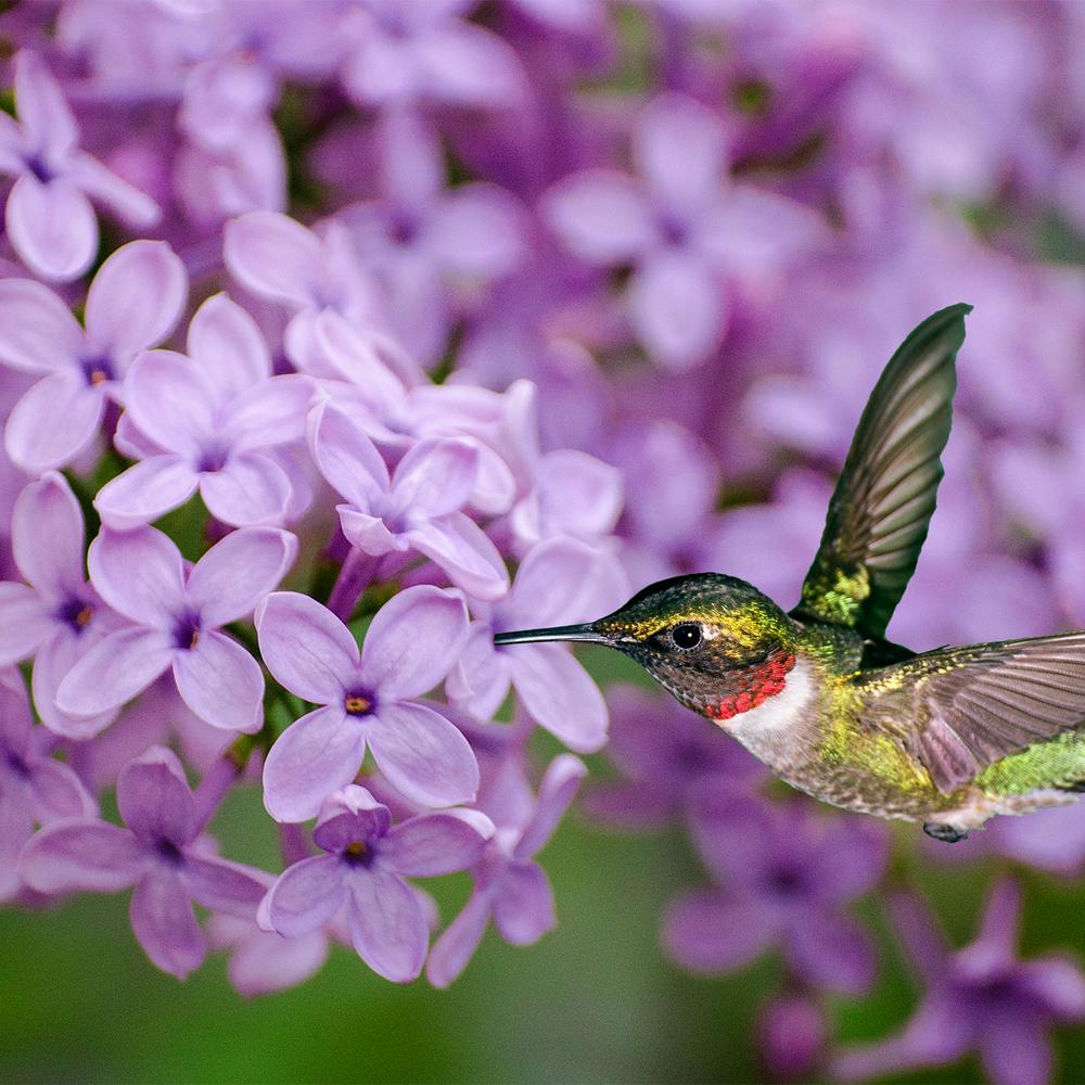 Pot Sunday Lilac (Syringa) Live Deciduous Plant Purple Flowering Shrub (1-Pack)