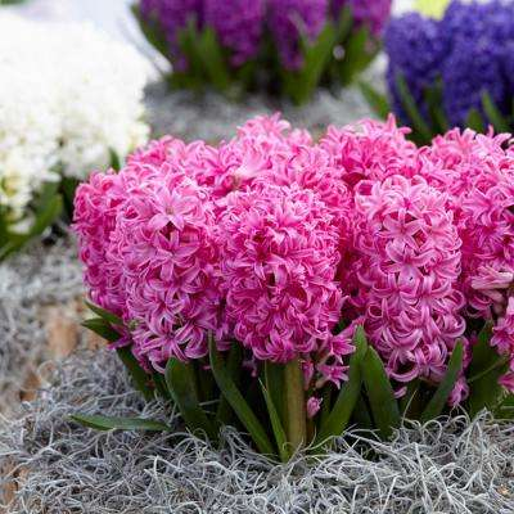 Pink Pearl Hyacinths Bulbs (Set of 10)