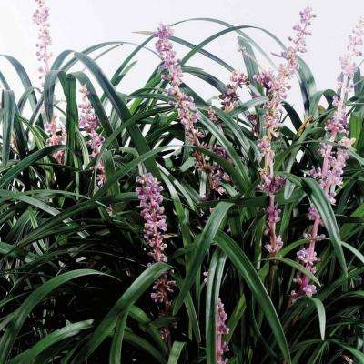 New Blue Liriope 3 1/4 in. Pots (18-Pack)
