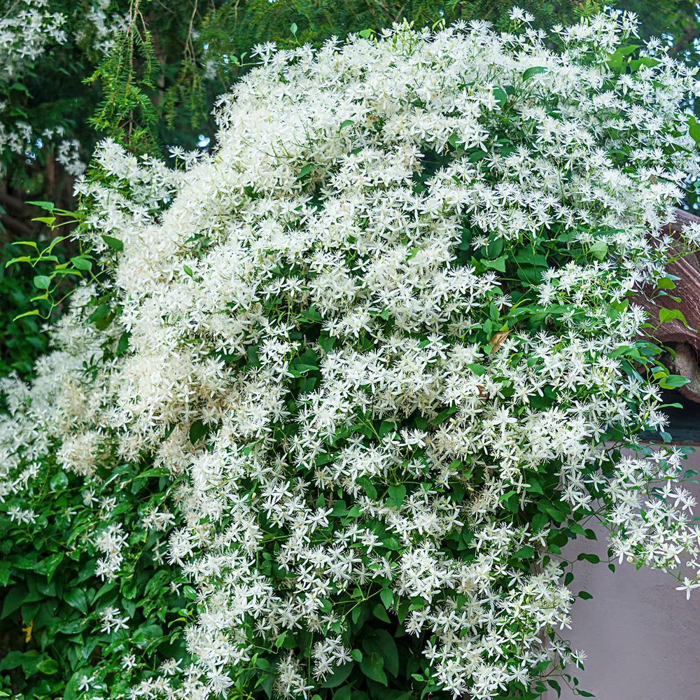 Spring hill nurseries 2 in pot sweet autumn clematis live perennial pot sweet autumn clematis live perennial plant vine with white mightylinksfo