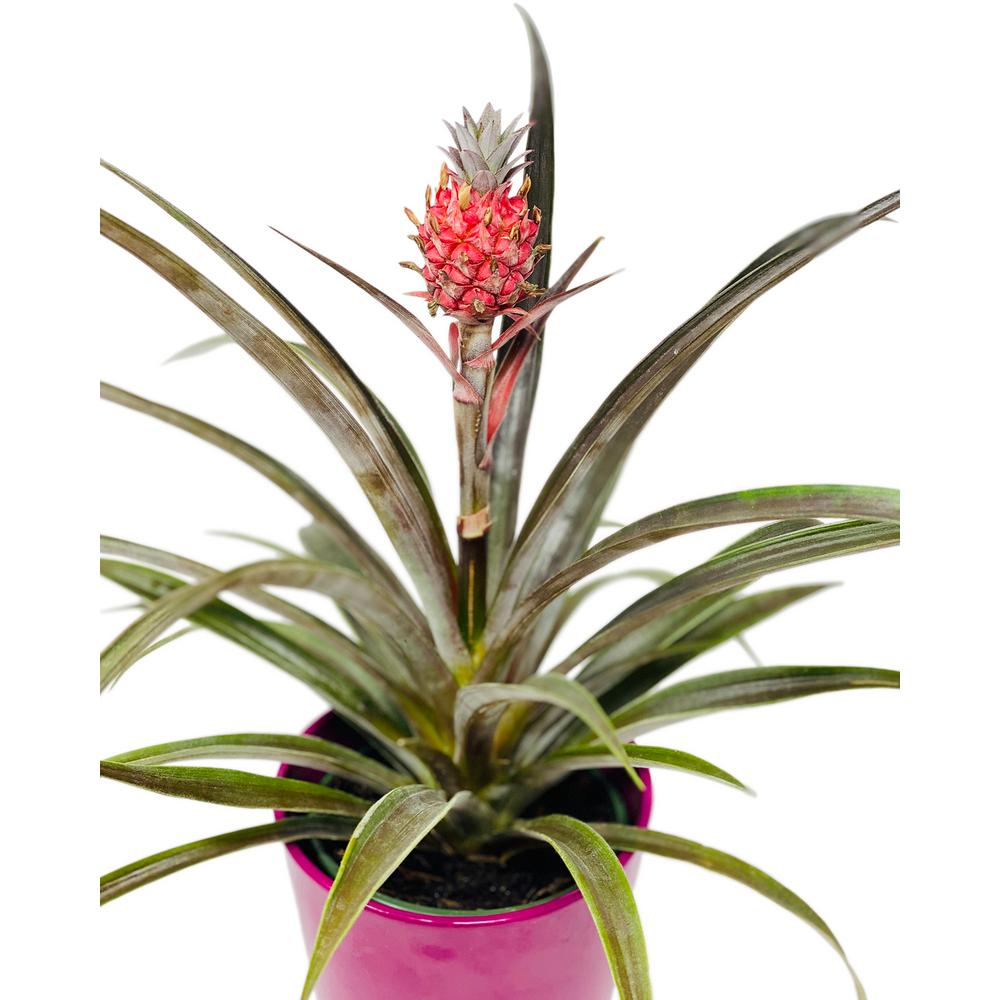Pure Beauty Farms Pineapple Plant Red in 5 in. Designer Pot