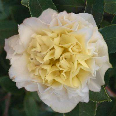 4 in. Pot Jury's Yellow Camellia Live Potted Plant with Yellow Flowering Shrub (1-Pack)
