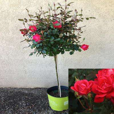 3 Gal. 3 ft. tall Tree Form Double Red KnockOut Rose