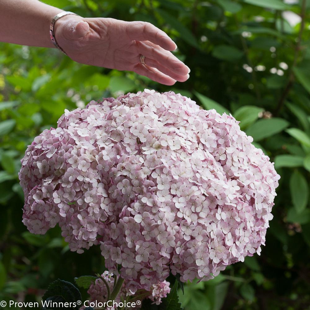 1 Gal. Incrediball Blush Smooth Hydrangea, Live Shrub, Light Pink Flowers