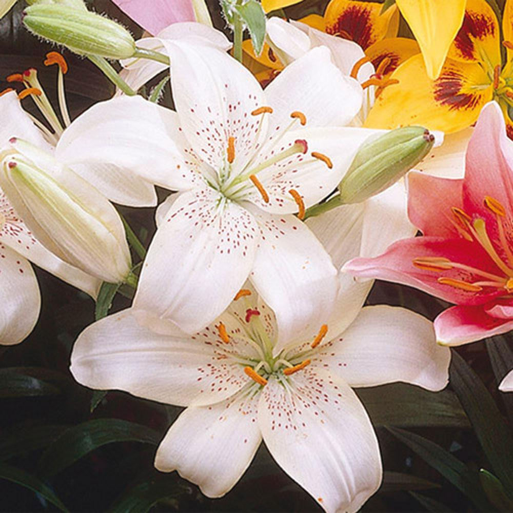 Van bourgondien asiatic lily kingdom bulbs 25 pack 01270 the van bourgondien asiatic lily kingdom bulbs 25 pack izmirmasajfo