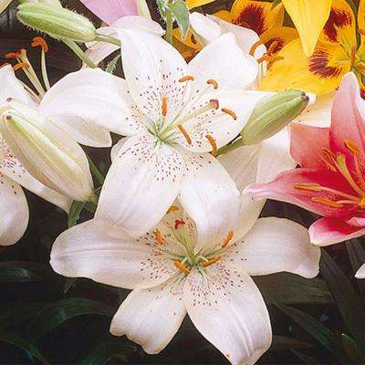 Asiatic Lily Kingdom Bulbs (25-Pack)