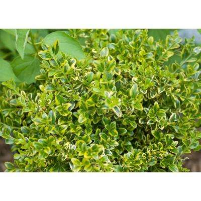 4.5 in. Qt. Wedding Ring Boxwood (Buxus) Live Evergreen Shrub, Variegated Green Foliage