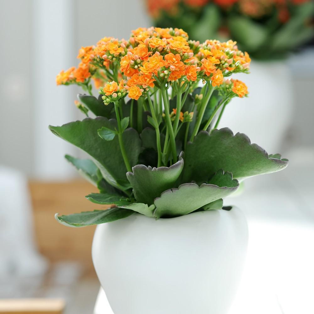 2.5 Qt. Kalanchoe Plant Orange Flowers in 6.33 In. Grower's Pot (4-Plants)