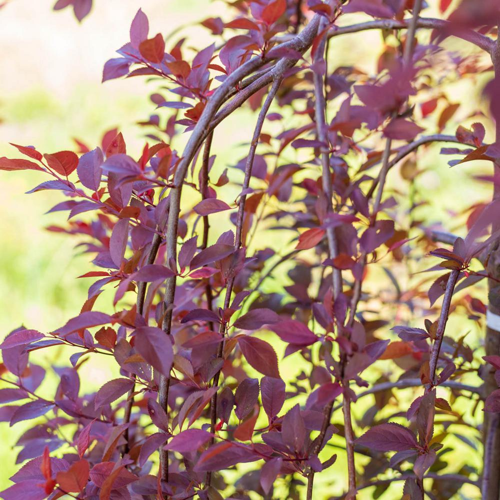 Spring Hill Nurseries Purple Plunge Weeping Flowering Plum Prunus
