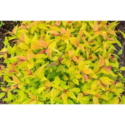 2.5 Qt. Goldflame Spirea (Spiraea), Live Deciduous Plant, Red Flowers with Gold Foliage (1-Pack)