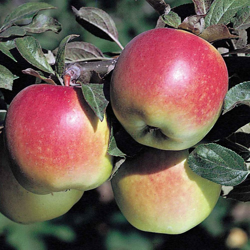 Gurney's Anna Reachables Apple Malus Live Fruiting Bareroot Tree (1-Pack)