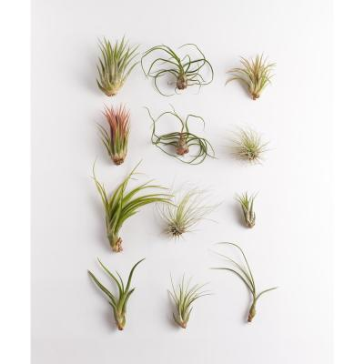 Assorted Air Plant (12-Pack)