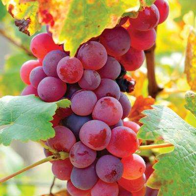 Grapes Flame Seedless Plants
