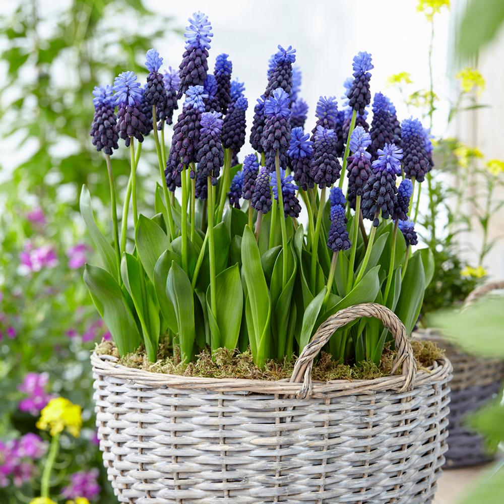 Van Zyverden Grape Hyacinths Bulbs Multi Colored Latifolum Set Of
