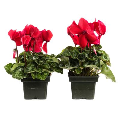 1.21-Pint Red Cyclamen Latinia in 4 in. Pot (2-Pack)