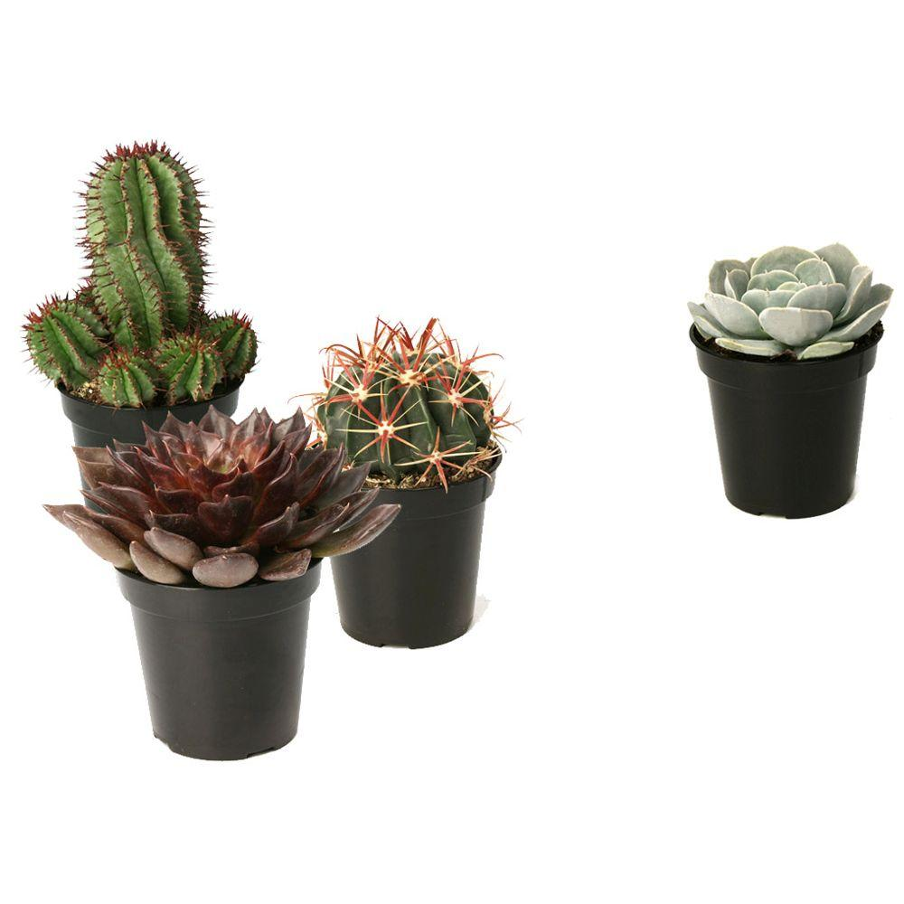Altman Plants 3 5 In Assorted Cactus And Succulent Plants