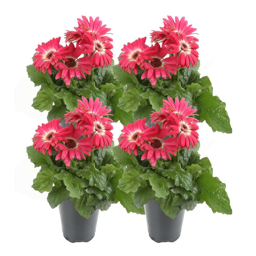 1 Qt. Pink Gerbera Flowers in Grower's Pot (4-Pack)
