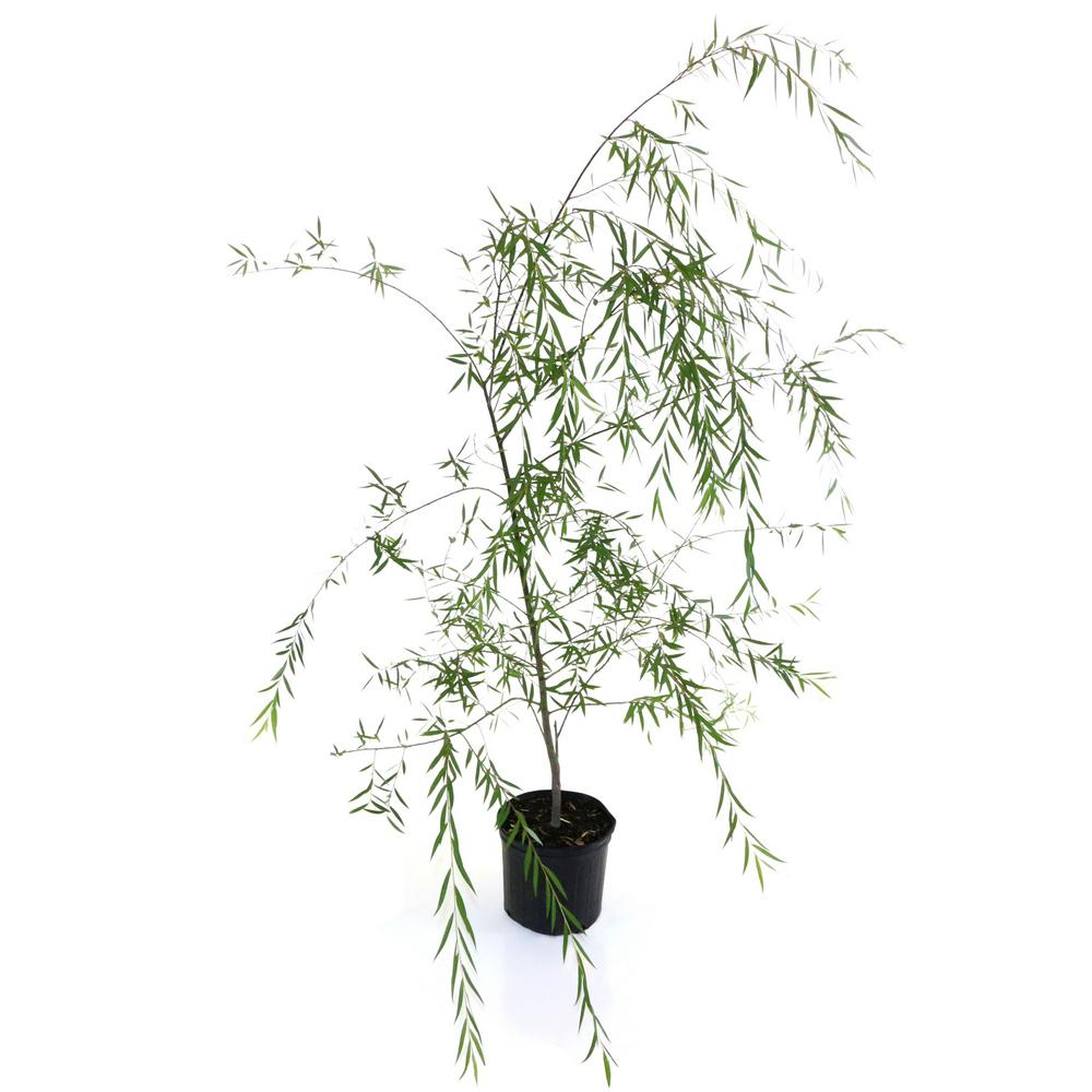 national PLANT NETWORK 2.25 Gal. Deciduous Weeping Willow Tree