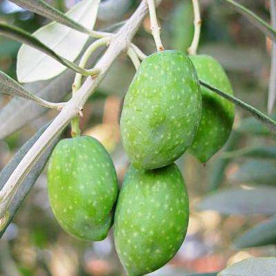 Olive Tree - Fruit Trees & Plants - Edible Garden - The Home Depot
