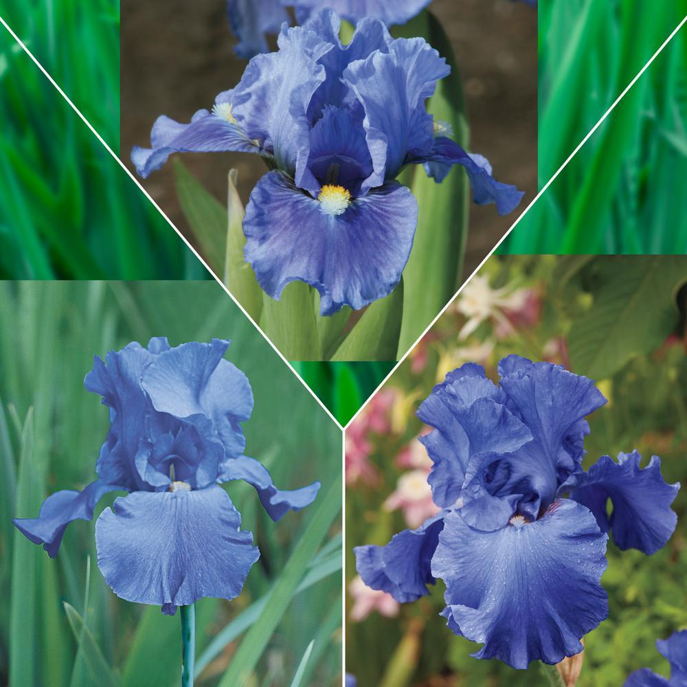 Blue Flowering Iris Mixture, Live Bareroot Perennials (3-Pack)