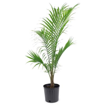 1.9 Gal. Majesty Palm Plant in 9.25 in. Grower's Pot