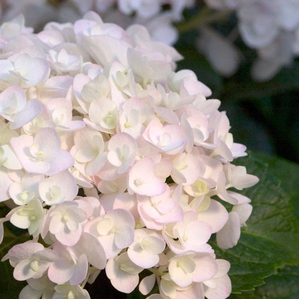 Endless summer 1 gal blushing bride hydrangeamacrophylla live blushing bride hydrangeamacrophylla live deciduous shrub white mightylinksfo