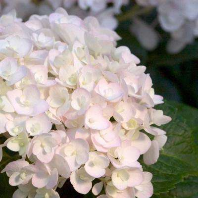 1 Gal. Blushing Bride Hydrangea(Macrophylla) Live Deciduous Shrub, White Blooms Blush to Blue or Pink