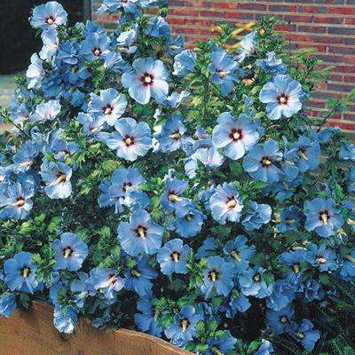 Bluebird Rose of Sharon Potted Plant