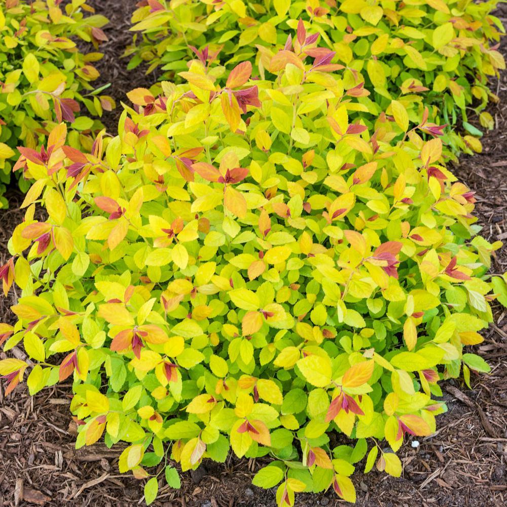 2.5 Qt. Magic Carpet Spirea (Spiraea), Live Dediduous Plant, Red Flowers with Gold Foliage (1-Pack)