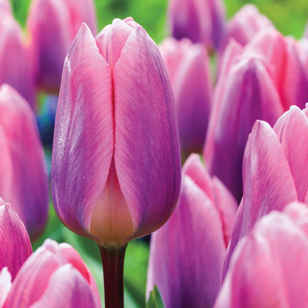 Light and Dreamy Darwin Hybrid Tulip Bulbs (25-Pack)