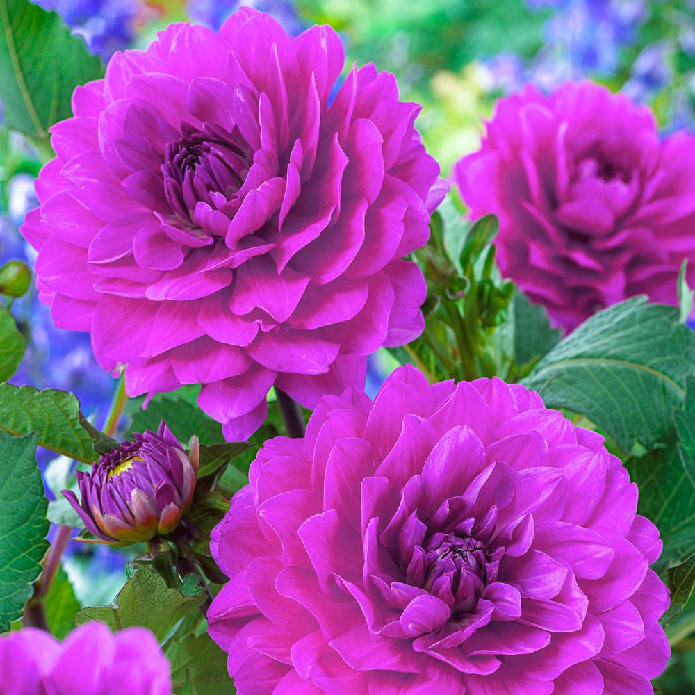 Breck S Purple Flowers Lagoon Karma Dahlia Bulbs 5 Pack 05987