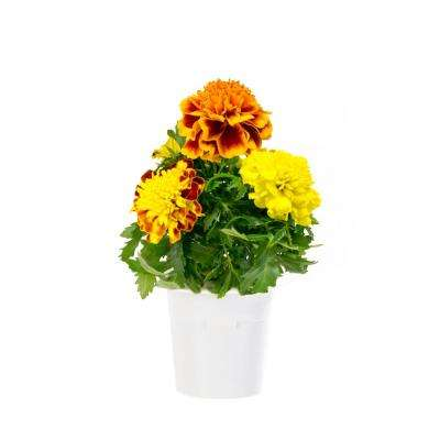 French Marigold Refill (3-Pack) for Smart Herb Garden