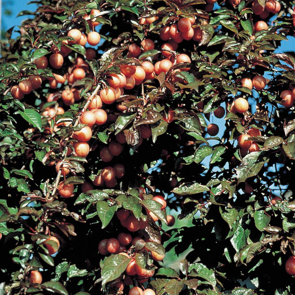 Native American Plum (Prunus) Live Bareroot Fruiting Tree (1-Pack)