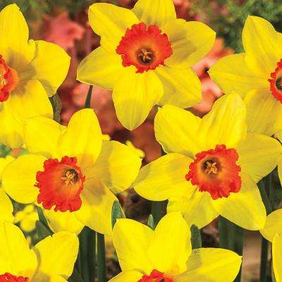 16 5 20 To 10 F Spring Flower Bulbs Garden Plants