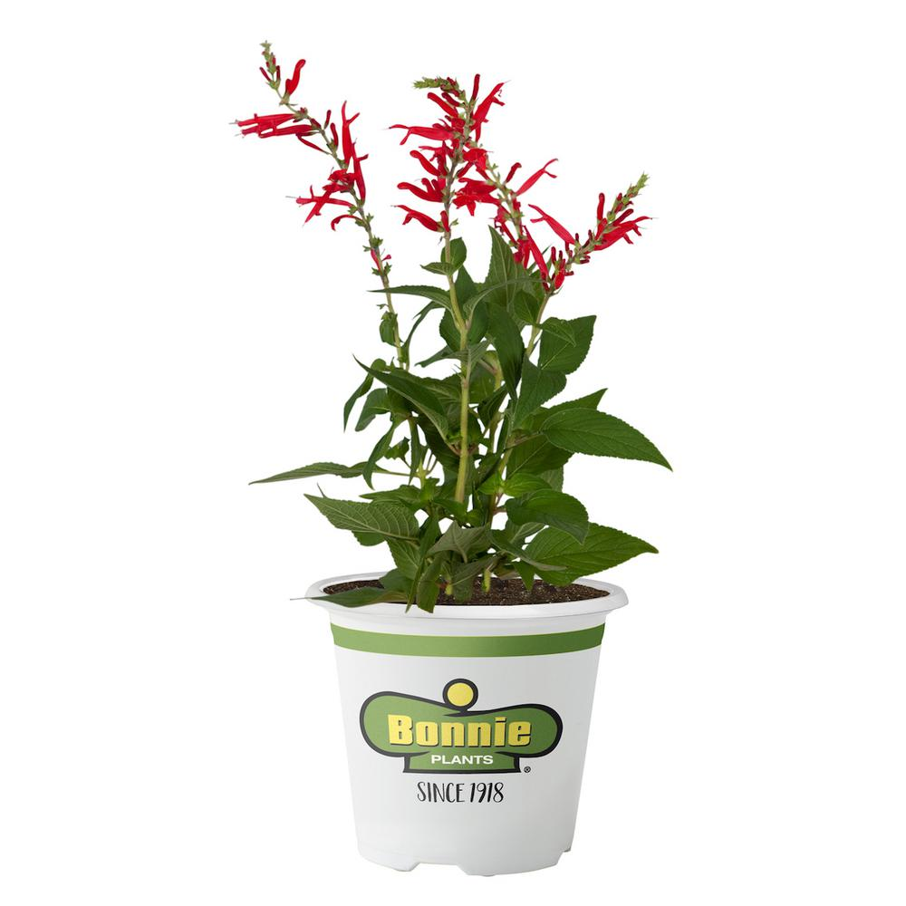 Bonnie Plants 4.5 in. Pineapple Sage A beautiful herb, grows tall (3 ft. to 4 ft.), with striking red flowers and foliage scented like pineapple. A wonderful pollinator plant, attracting loads of butterflies and hummingbirds. Use leaves dry or fresh. Flowers are edible, and add brilliant color to salads. Perennial in zones 8 to 10.