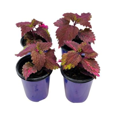 1.38 Pt. Coleus Plant Florida Sun Rose in 4.5 In. Grower's Pot (4-Plants)