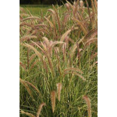Graceful Grasses Sky Rocket Purple Fountain Grass (Pennisetum) Live Plant, Green and White Foliage, 4.5 in. Qt.
