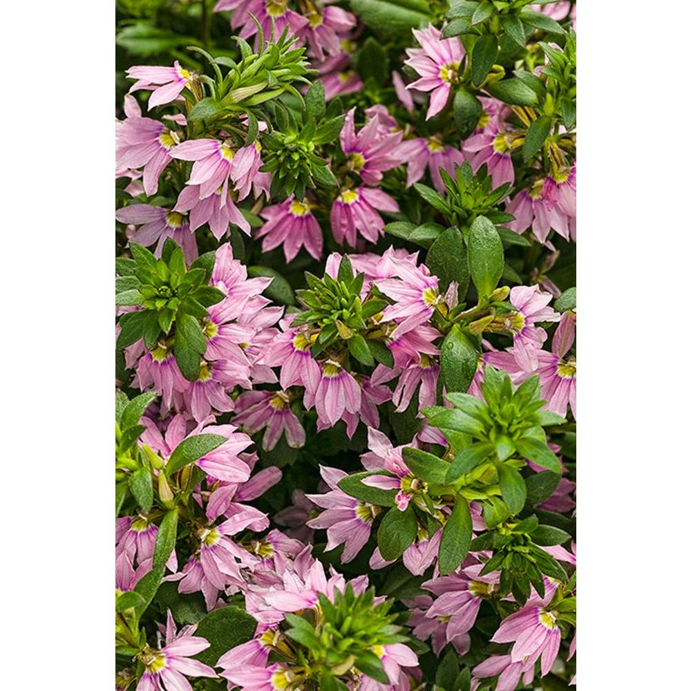 Proven Winners Pink Wonder Fan Flower (Scaevola) Live Plant, Light Pink  Flowers,
