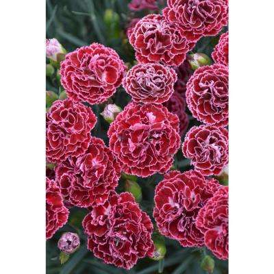 Fruit Punch Cherry Vanilla Pinks (Dianthus) Live Plant Red Flowers and Pink Edges 0.65 Gal.