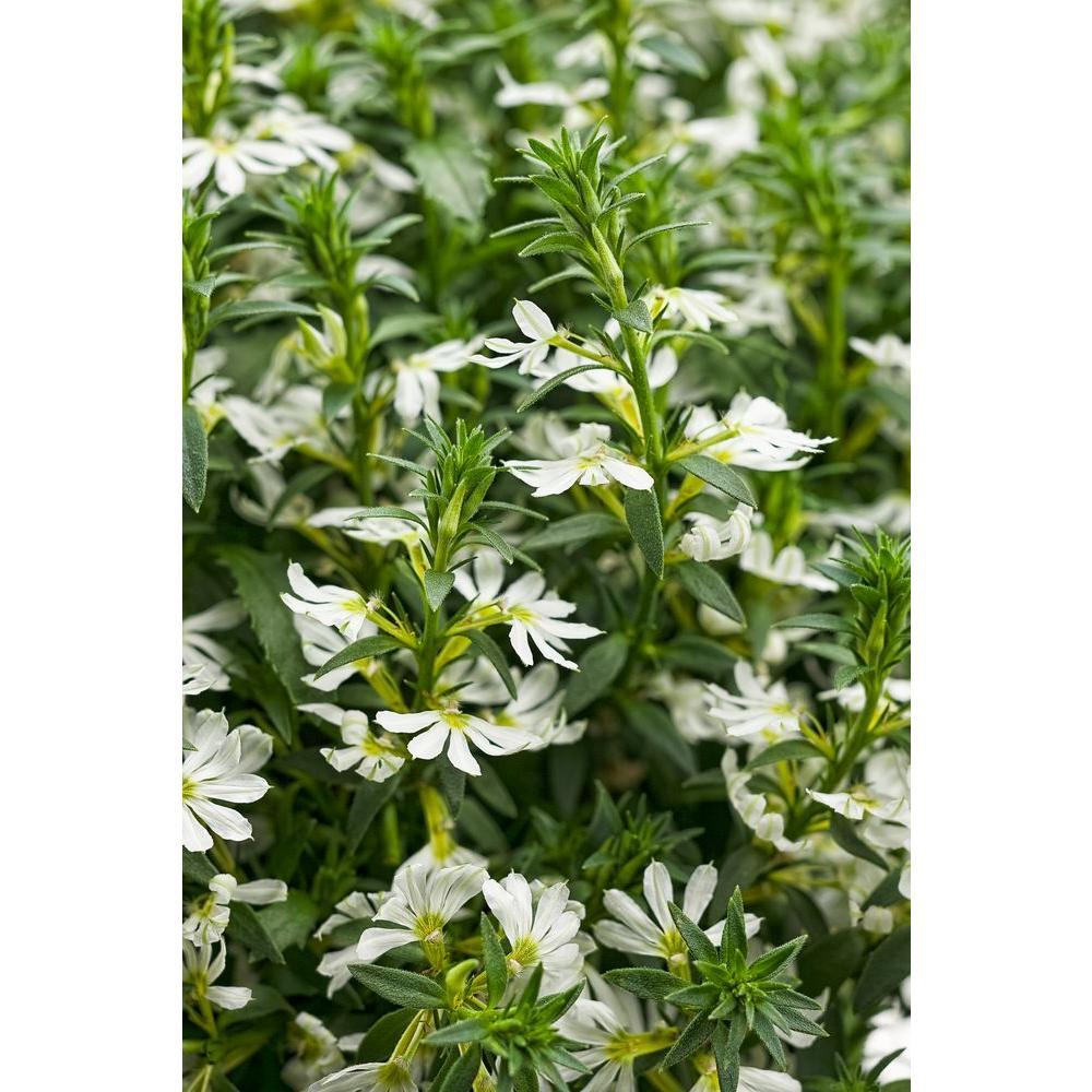 Proven Winners Whirlwind White Fan Flower Scaevola Live Plant