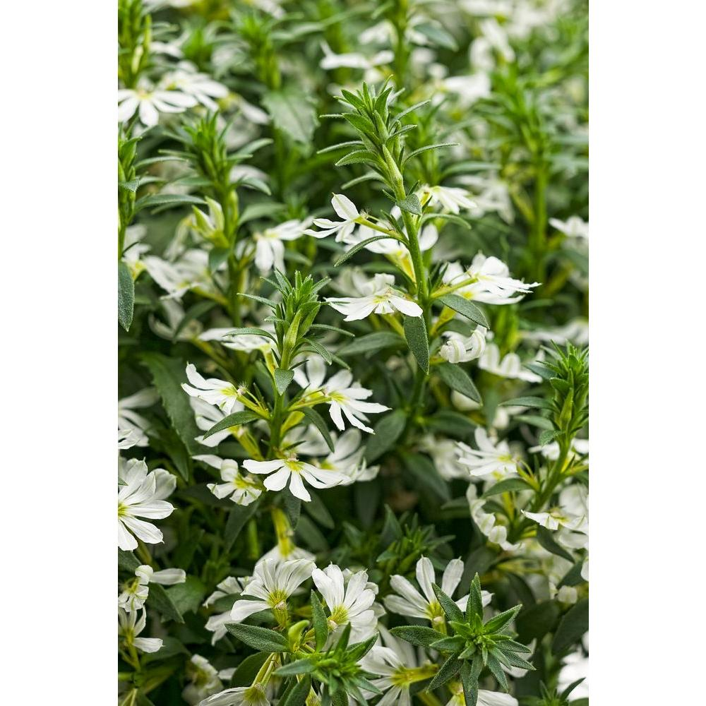 Proven winners whirlwind white fan flower scaevola live plant proven winners whirlwind white fan flower scaevola live plant white flowers 425 mightylinksfo