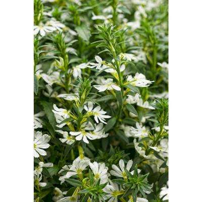 4-Pack, 4.25 in. Grande Whirlwind White Fan Flower (Scaevola) Live Plant, White Flowers
